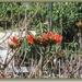 Tulpenboom.