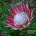 Kirstenbosch  Koningsprotea Nationale bloem Zuid-Afrika