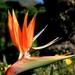 Kirstenbosch Paradijsvogelbloem