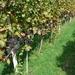 023-Witte druiven