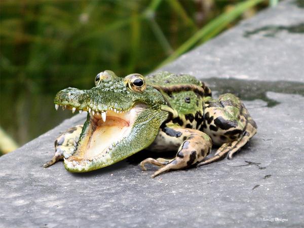 krokokikker