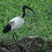 loopvogel1