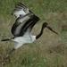 loopvogel2