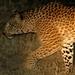 luipaard1