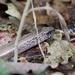 Hazelworm - Anguis fragilis IMG-1894