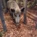 DSCN2665 wildzwijn museum