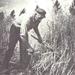 Graan maaiën in de jaren 60