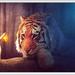 tijger met blauwe schijn