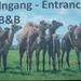 1 Berlicum, kamelenmelkerij _P1230418