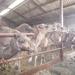 1 Berlicum, kamelenmelkerij _P1230421