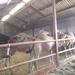1 Berlicum, kamelenmelkerij _P1230424