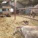 1 Berlicum, kamelenmelkerij _P1230425