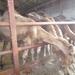 1 Berlicum, kamelenmelkerij _P1230427