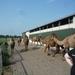 1 Berlicum, kamelenmelkerij _P1230431