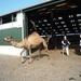 1 Berlicum, kamelenmelkerij _P1230434