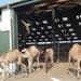 1 Berlicum, kamelenmelkerij _P1230436