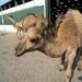 1 Berlicum, kamelenmelkerij _P1230437