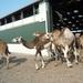 1 Berlicum, kamelenmelkerij _P1230438