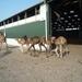 1 Berlicum, kamelenmelkerij _P1230439