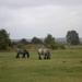 Belgisch trekpaard ( zie www)