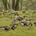 Kolganzen en grauwe ganzen