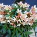 35-Dit is een HELLEBORUS, prachtige bloem...