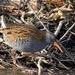 Waterral - Rallus aquaticus