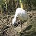 Kleine Zilverreiger -  Egretta garretta (2)