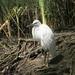 Kleine Zilverreiger -  Egretta garretta (4)