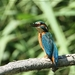 Ijsvogel - Alcedo atthis  (4)