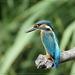 Ijsvogel - Alcedo atthis (6)
