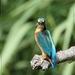 Ijsvogel - Alcedo atthis (8)