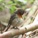 Roodborst - Erithacus rubecula (4)