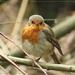 Roodborst - Erithacus rubecula (14)