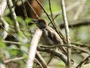 Zwatkop - Sylvia atricapilla (10)