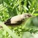Kleine Karekiet - Acrocephalus scirpaceus (2)