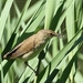 Kleine Karekiet - Acrocephalus scirpaceus (4)