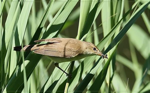 Kleine Karekiet - Acrocephalus scirpaceus (6)