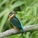 Ijsvogel - Alcedo atthis (2)