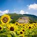 foto-van-een-veld-vol-mooie-zonnebloemen-en-een-huis-op-de-achter