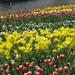 hd-achtergrond-met-verschillende-kleuren-tulpen-hd-wallpaper