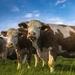 cows-2257738_960_720
