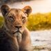 lion-2263345_960_720