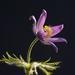 pasqueflower-2195539_960_720
