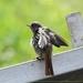 Gekraagde roodstaart -  Phoenicurus phoenicurus (2)