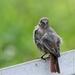 Gekraagde roodstaart -  Phoenicurus phoenicurus (6)