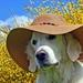 hd-achtergrond-met-hond-met-hoed-en-gele-bloemen