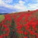 hd-achtergrond-met-rode-bloemen-in-een-veld