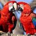 hd-achtergrond-met-twee-rode-papegaaien-op-boomtak