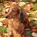 achtergrond-met-een-hond-tussen-de-herfstbladeren